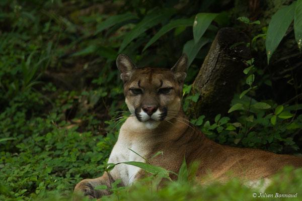 Puma (Puma concolor) (Zoo de Guyane, Montsinéry, le 22/04/2017)