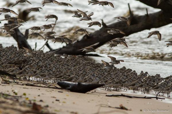 Bécasseau semipalmé (Calidris pusilla) (Mana, Guyane, le 27/04/2017)
