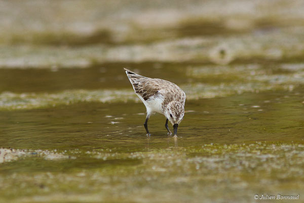 Bécasseau semipalmé (Calidris pusilla) (adulte, plumage internuptial) (Route des plages, Remire-Montjoly, Guyane, le 29/03/2017)