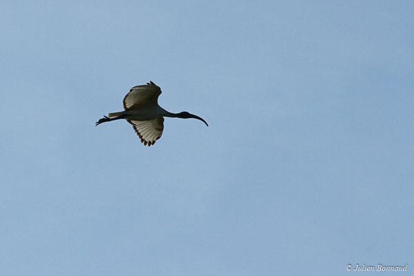Ibis sacré – Threskiornis aethiopicus (Latham, 1790), (adulte) (Réserve Naturelle des Marais de Séné (56), France, le 19/11/2017)