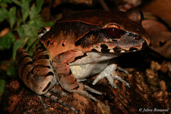 Leptodactyle géant (Leptodactylus pentadactylus) (sentier du Rorota, Remire-Montjoly, le 19/12/2014)