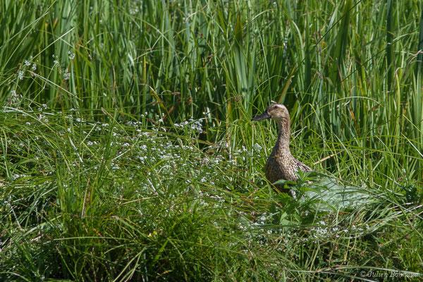 Canard pilet – Anas acuta Linnaeus, 1758, (femelle en plumage estival) (Anglade (33), France, le 20/06/2018)