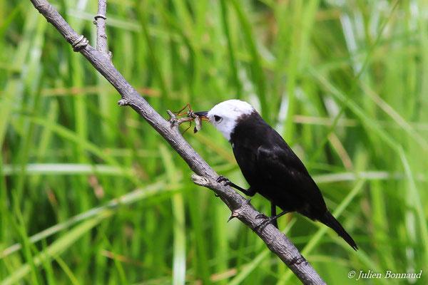 Moucherolle à tête blanche (Arundinicola leucocéphala) (mâle adulte) (Kaw, le 24/01/2016)