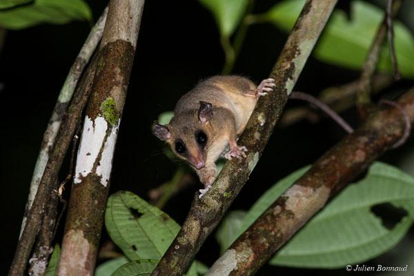 Opossum-souris délicat de Pinheiro (Marmosops pinheiroi) (mine d'or Espérance, Apatou, le 16/05/2017)