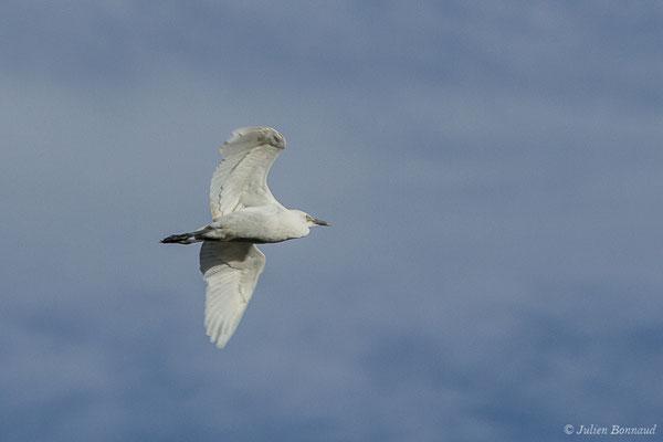 Héron garde-boeufs (Bubulcus ibis) (juvénile) (Saligue d'Artix (64), le 15/08/2019)