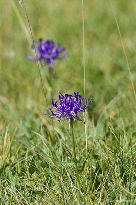 Raiponce hémisphérique (Phyteuma hemisphaericum) (Col du Pourtalet, Laruns (64), France, le 06/07/2019)