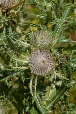 Cirse laineux ou Cirse aranéeux (Cirsium eriophorum) (Station de ski de Gourette, Eaux-Bonnes (65), France, le  30/07/2020)