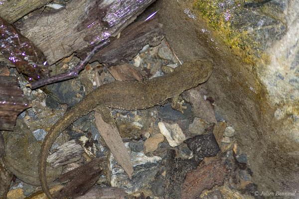 Calotriton des Pyrénées ou Euprocte des Pyrénées – Calotriton asper (Al. Dugès, 1852), (femelle adulte) (Laruns (64), France, le 06/08/2019)