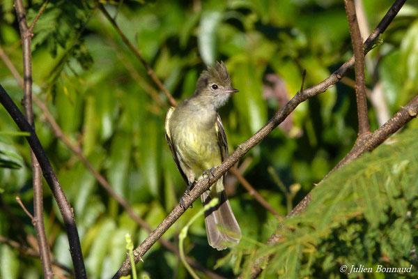 Élénie à ventre jaune (Elaenia flavogaster) (route de Guatémala, le 02/01/2016)