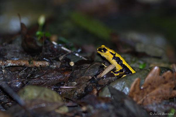 Salamandre tachetée – Salamandra salamandra fastuosa (Schreiber, 1912), (adulte) (Accous (64), France, le 10/04/2019)