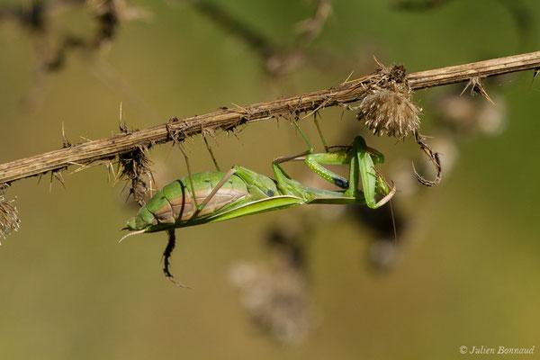Mante religieuse (Mantis religiosa) (femelle adulte) (Saint-Jouvent (87), France, le 29/06/2018)