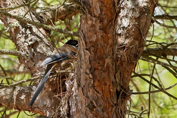 Pie bleue (Cyanopica cyanus) (Parc national de Doñana, El Rocio (Andalousie), le 07/08/2020)