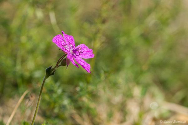 Érodium de Manescau ou Bec-de-grue de Manescaut (Erodium manescavii) (Buzy (64), France, le 30/04/2020)