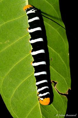 Isognathus swainsonii (Sentier de la Mirande, le 09/07/2015)