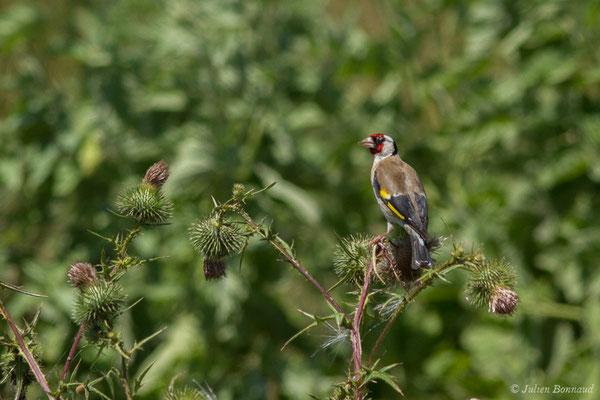 Chardonneret élégant (Carduelis carduelis) (Saint-Sorlin-de-Cognac (17), France, le 21/06/2018)