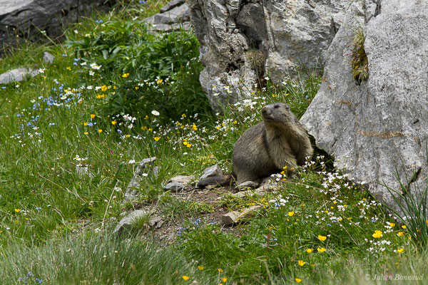 Marmotte (Marmotta marmotta) (Col du Pourtalet, Laruns (64), France, le 22/06/2019)