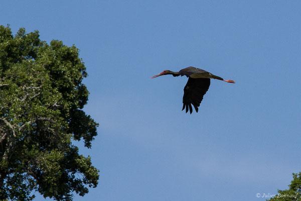 Cigogne noire – Ciconia nigra (Linnaeus, 1758), (Parc National de Monfragüe (Estrémadure), Espagne, le 12/08/2020)