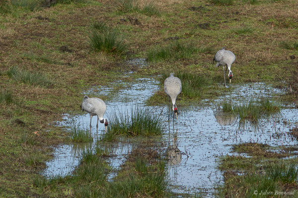 Grue cendrée – Grus grus (Linnaeus, 1758), (réserve des barthes de Saint-Martin-de-Seignanx (64), France, le 19/01/2019)