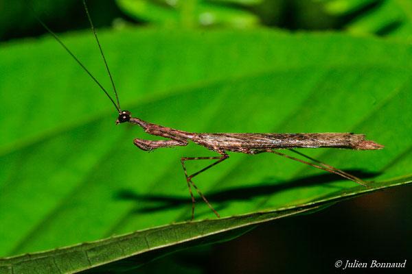 Pseudomusonia maculosa (mâle) (route de Kaw, le 15/07/2015)
