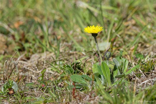 Piloselle (Pilosella officinarum) (Lacq (64), France, le 20/03/2019)