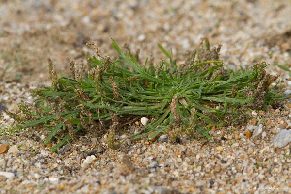 Plantain Corne-de-cerf (Plantago coronopus) (Bidart (64), France, le 09/11/2018)