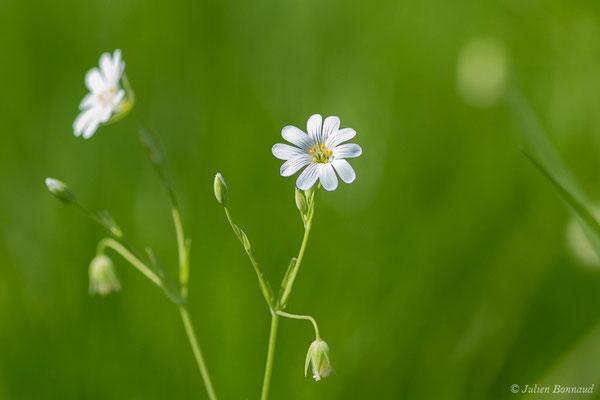 Stellaire holostée (Stellaria holostea) (Mazerolle (40), France, le 10/04/2020)