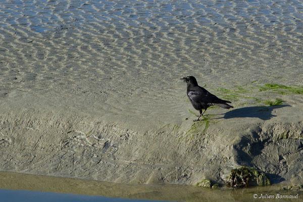 Corneille noire (Corvus corone) (adulte) (Maison de la Baie de Saint-Brieuc, Hillion (22), France, le 24/11/2017)