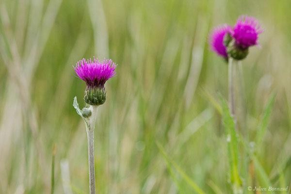 Cirse des prairies (Cirsium dissectum) (Braud-et-Saint-Louis (33), France, le 09/05/2019)