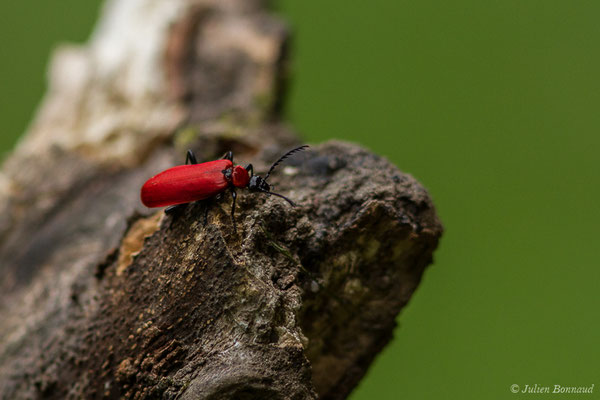 Cardinal, Pyrochore écarlate (Pyrochroa coccinea) (lac d'Ayous, Laruns (64), France, le 13/07/2019)