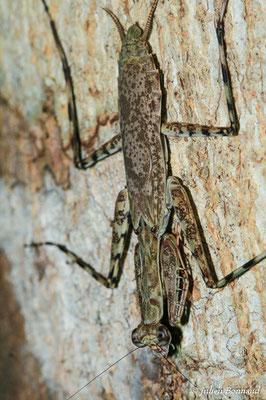 Hagiomantis mesopoda (femelle) (Sentier de Kaw, le 21/06/2015)