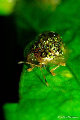 (Microctenochira reticularis) (sentier du Rorota, Remire-Montjoly, le 10/08/2012)