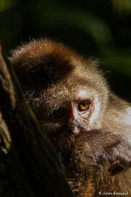 Capucin à tête blanche (Cebus olivaceus) (adulte) (Zoo de Guyane, Montsinéry, le 24/07/2017)