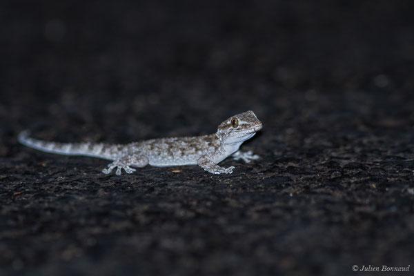Tarente de Maurétanie (Tarentola mauritanica) (Parque Natural de la Sierra de Andújar (Andalousie), Espagne,le 10/08/2020)