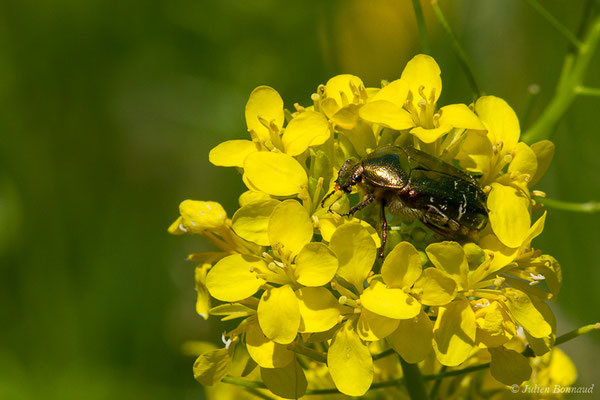 Cétoine dorée (Cetonia aurata) (Laruns (64), France, le 21/05/2019)