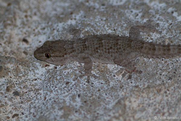 Tarente de Maurétanie – Tarentola mauritanica (Linnaeus, 1758), (Vila do Bispo (Algarve), Portugal, le 04/09/2018)