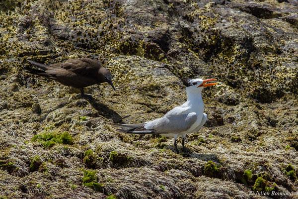 Noddi brun (Anous stolidus) et Sterne Royale (Thalasseus maximus) (Île du Grand Connétable, Guyane, le 09/08/2017)