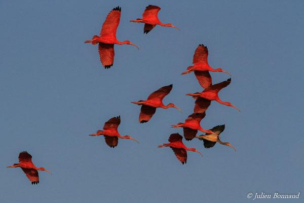 Ibis rouge (Eudocimus ruber) (adultes et immature) (Pont du Larivot, Matoury, le 09/01/2015)