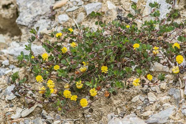 Trèfle champêtre, Trèfle jaune, Trance (Trifolium campestre) (Etsaut (64), France, le 20/04/2021)
