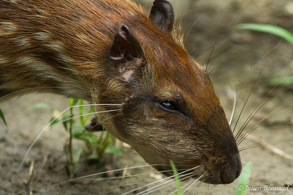 Paca (Cuniculus paca) (Zoo de Guyane, Montsinéry, le 14/08/2016)
