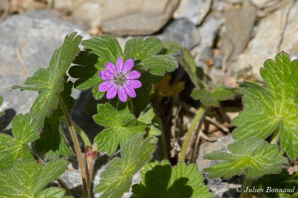 Géranium des Pyrénées (Geranium pyrenaicum) (Cette-Eygun (64), France, le 23/04/2021)