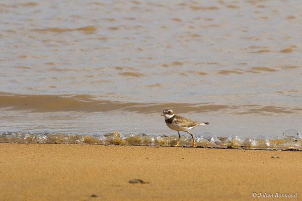 Pluvier semipalmé (Charadrius semipalmatus) (adulte, plumage internuptial) (Dégrad des Cannes, Remire-Montjoly, Guyane, le 15/04/2017)