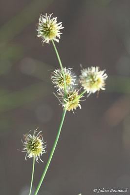 Rhynchospora holoschoenoides (Centre Spatial Guyanais, Kourou, le 12/05/2014)