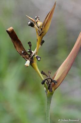 Heliconia psyttacorum (Centre Spatial Gutyanais, Kourou, le 12/05/2014)