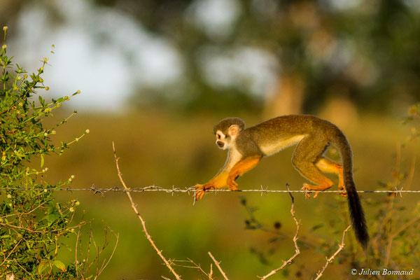 Singe écureuil ou Saïmiri (Saimiri sciureus) (La Césaré, Macouria, le 13/09/2017)