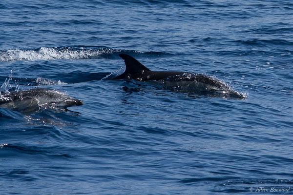 Dauphin commun à bec court (Delphinus delphis) (Détroit de Gibraltar, Tarifa, Andalousie (Espagne), le 04/08/2020)