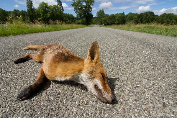 Renard roux – Vulpes vulpes (Linnaeus, 1758), (Idron (64), France, le 22/06/2021)