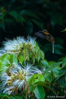 Ermite à brins blancs (Phaethornis superciliosus) (Sentier du Rorota, le 23/07/2016)