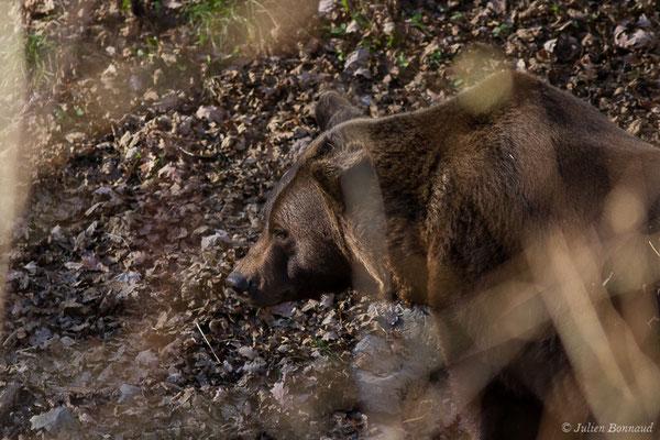 Ours brun – Ursus arctos Linnaeus, 1758, (adulte) (Parc'Ours, Borce (64), France, le 30/12/2019)