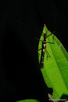 (Parastratocles tessulatus) (mâle adulte) (Route de Roura, le 13/07/15)