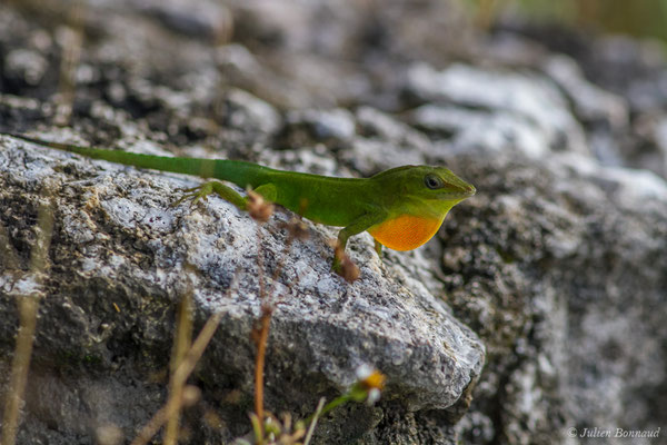 Anolis de la Guadeloupe (Ctenonotus marmoratus) (Saint-Anne, le 17/05/2016)